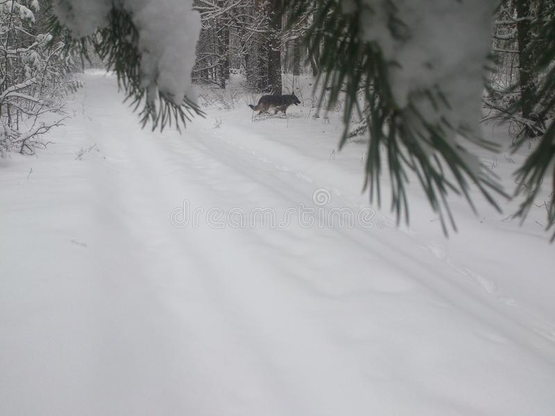 Dog in winter forest stock photo