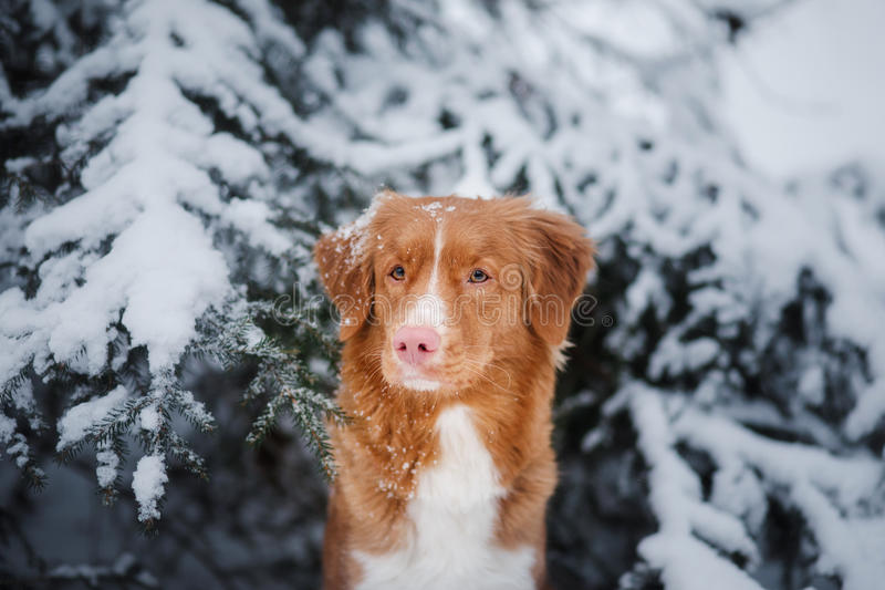 Dog in winter outdoors, Nova Scotia Duck Tolling Retriever, in the forest stock images