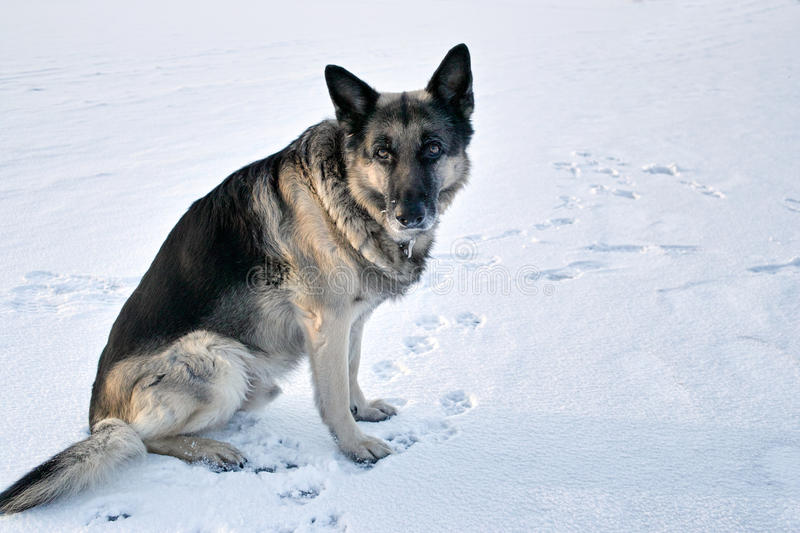 Dog In Winter. Serious shepherd dog with intense stare sitting on the snow, dog`s footprints around stock image