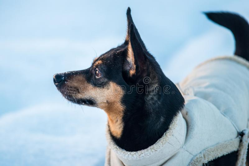 Dog in winter wearing clothes stock photos