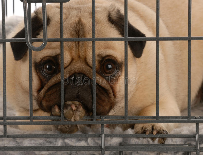 Dog in wire crate royalty free stock images