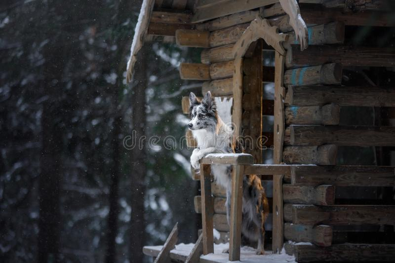 Dog at wooden house in the forest. Marble border collie in nature. Walk with your pet in winter stock images