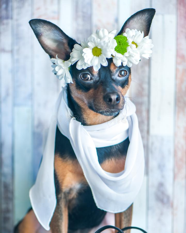 A dog in a wreath of chamomiles and a scarf. The theme of spring royalty free stock photos