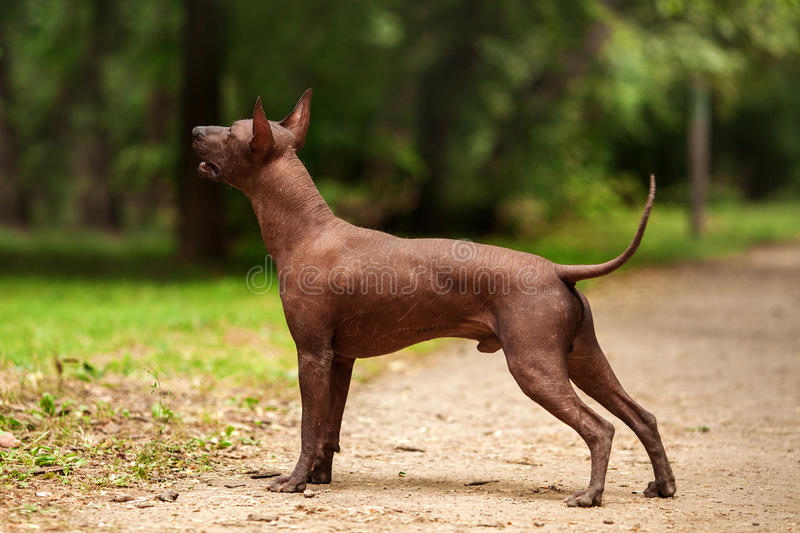 Dog of Xoloitzcuintli breed, mexican hairless dog standing outdoors on summer day. Horizontal portrait of one dog of Xoloitzcuintli breed, mexican hairless dog stock images