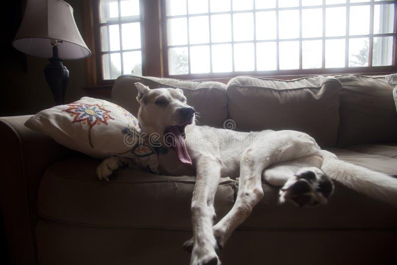 Download Dog Yawns on Sofa stock photo. Image of family, animal - 33138740