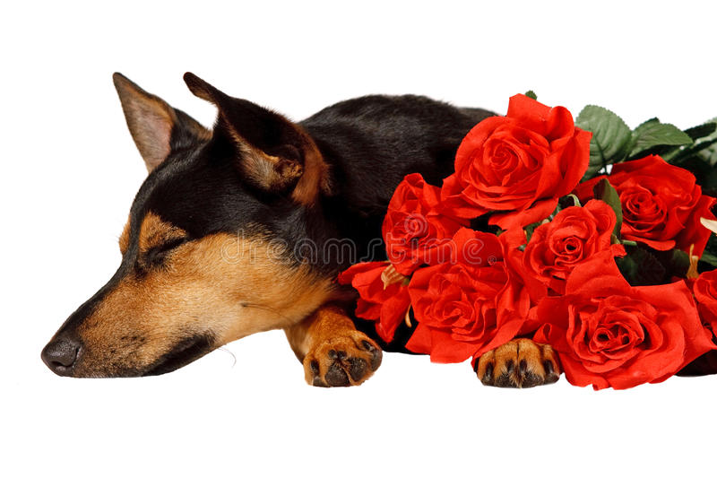 Dog is yearning royalty free stock photos