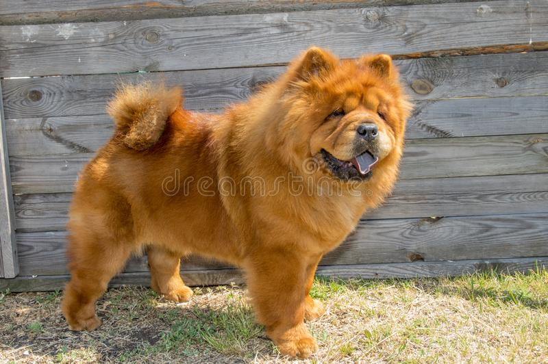 Dog ,yellow chow-chow, in the rack royalty free stock image