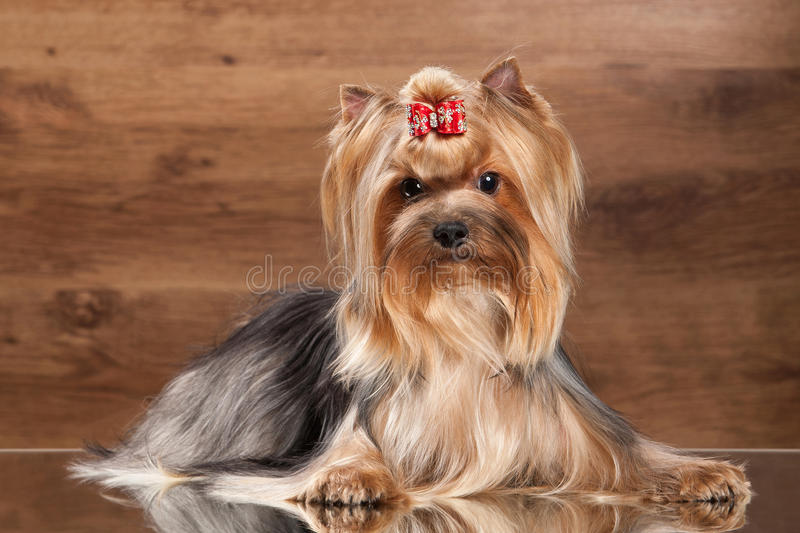 Dog. Yorkie puppy on table with wooden texture royalty free stock photo