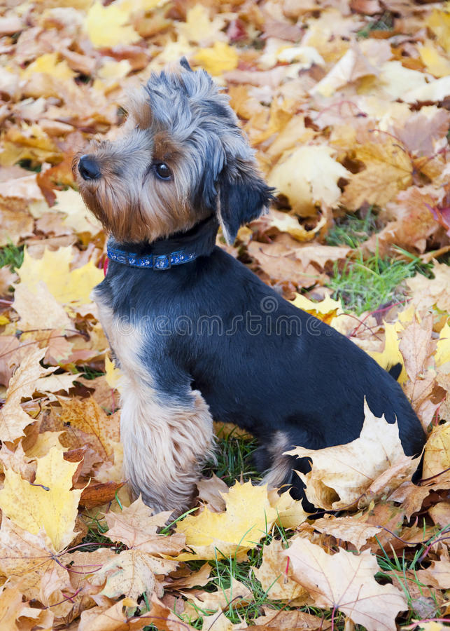 Dog Yorkshire Terrier Royalty Free Stock Photos