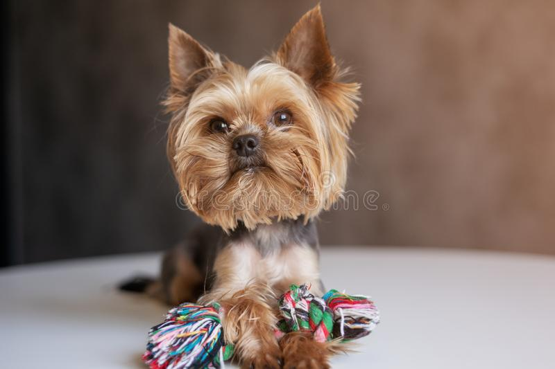 Dog Yorkshire Terrier with a toy stock image