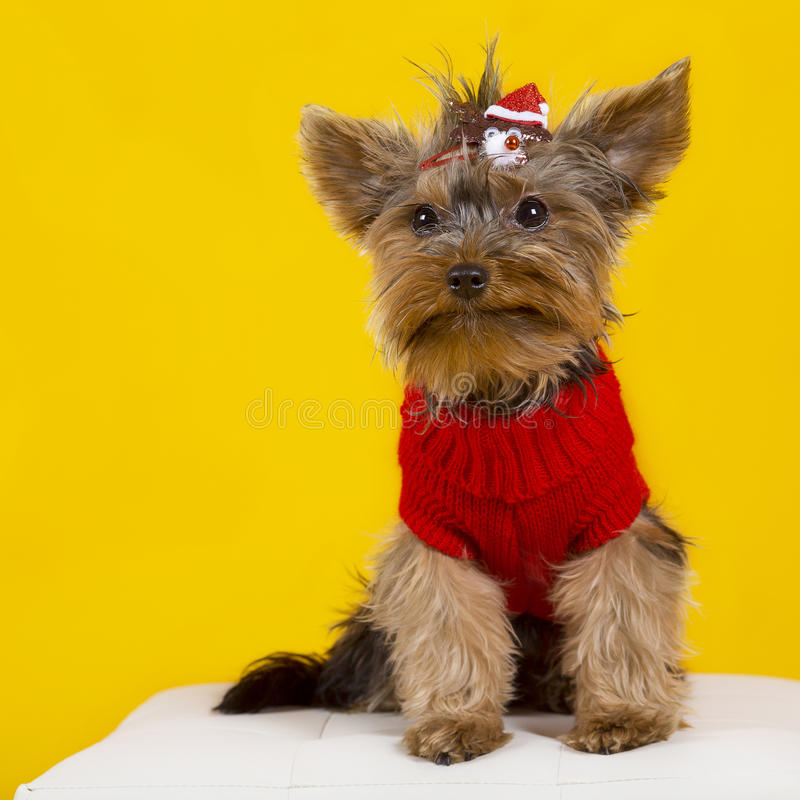 Dog yorkshire terrier in clothes royalty free stock photography