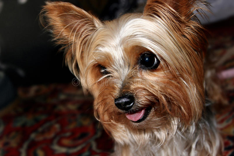 Dog Yorkshire Terrier stock photography