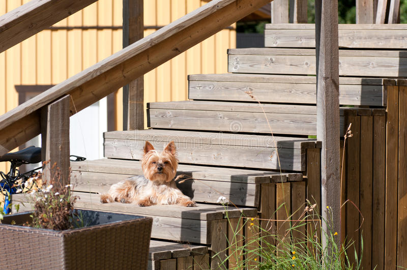 Dog Yorkshire Terrier lying on the wooden steps royalty free stock photos