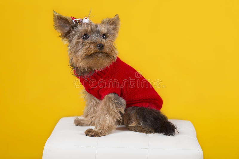 Dog yorkshire terrier in clothes royalty free stock images
