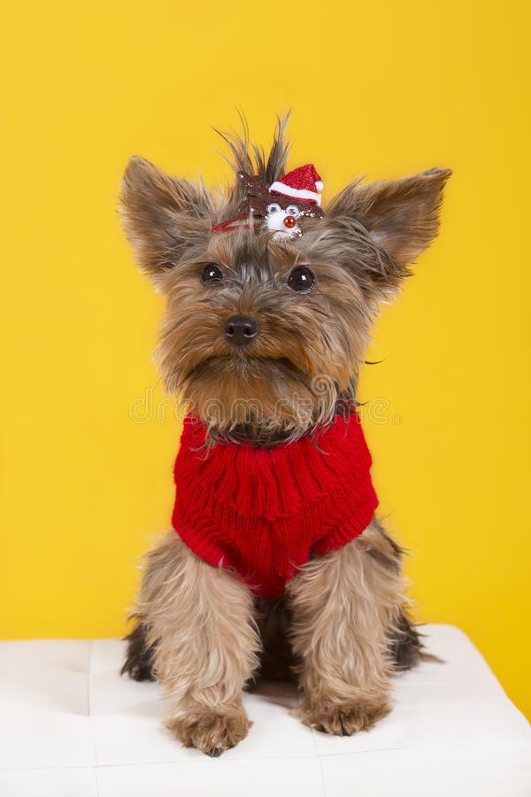 Dog yorkshire terrier in clothes stock photo