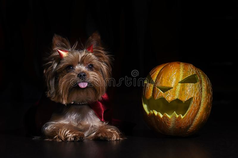 Dog Yorkshire Terrier in studio with Halloween pumpkin on black background royalty free stock photography