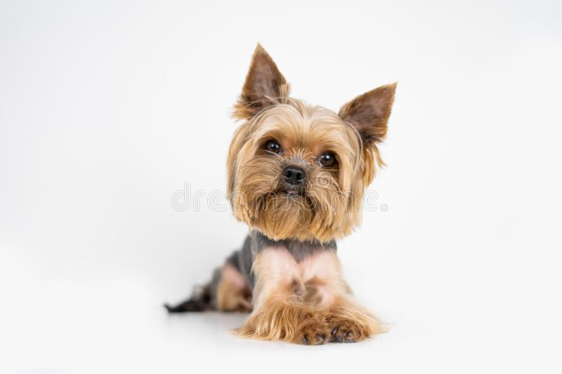 Dog yorkshire terrier on white background royalty free stock photo