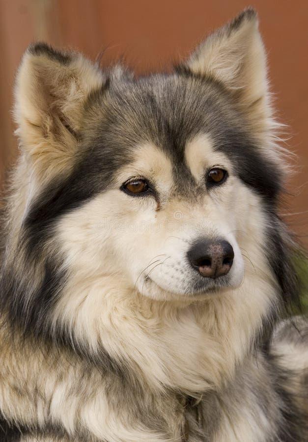 dog1爱斯基摩人纵向 免版税图库摄影