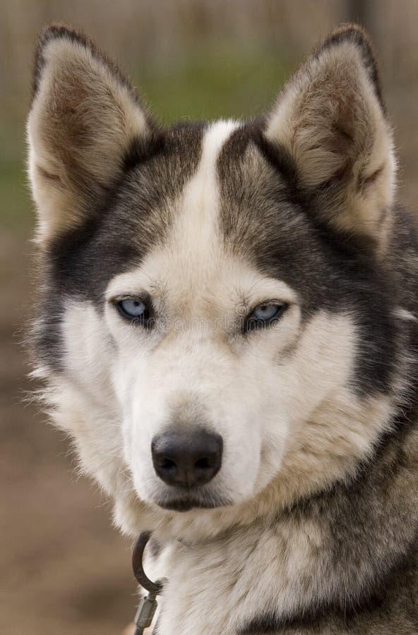 dog2爱斯基摩人纵向 库存照片