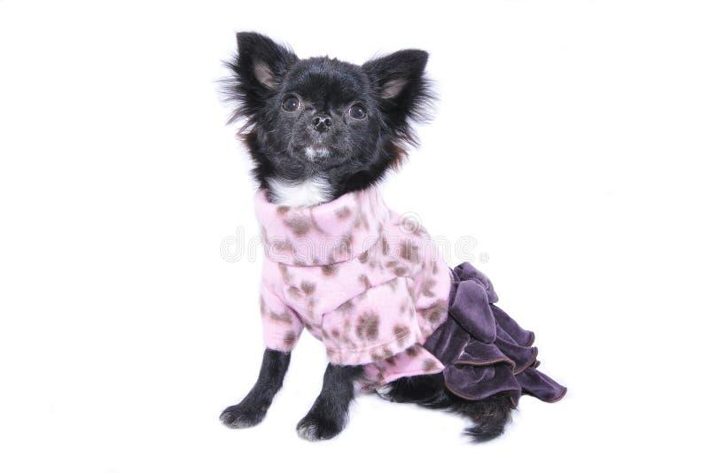 131129DogClothing_Dog Portraits151 στοκ εικόνες με δικαίωμα ελεύθερης χρήσης