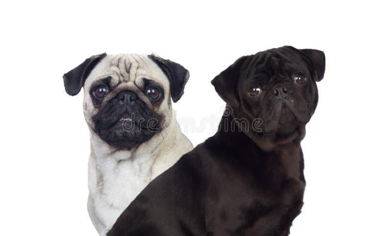 Dogd agradável do carlino do pug branco e preto fotografia de stock