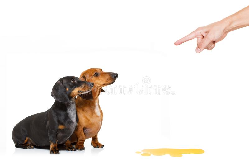 Dogd pee owner at home. Dachshund sausage dogs being punished for urinate or pee at home by his owner, isolated on white background stock images