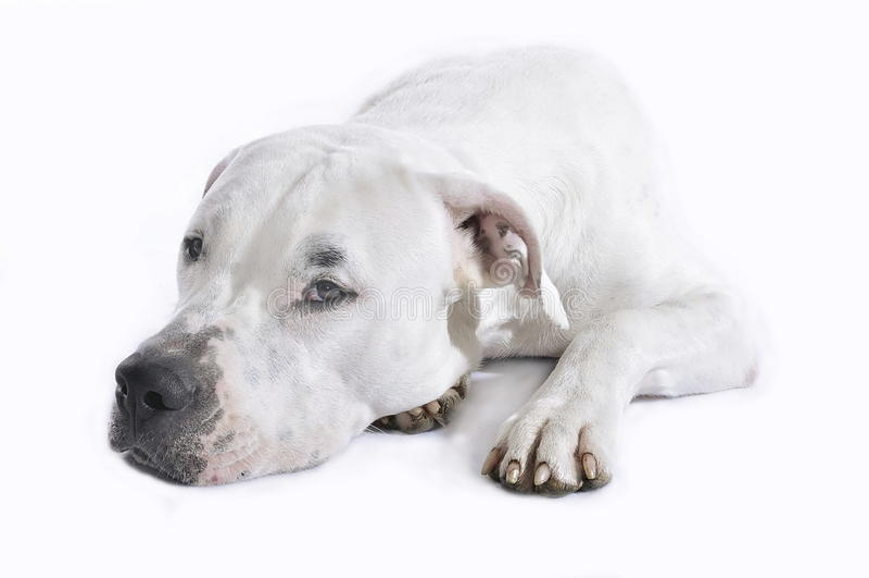 DogDeLuxe_DogPortrais59 στοκ εικόνα με δικαίωμα ελεύθερης χρήσης