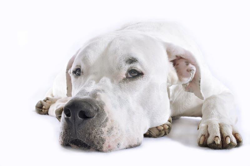 DogDeLuxe_DogPortraits54 στοκ φωτογραφία με δικαίωμα ελεύθερης χρήσης