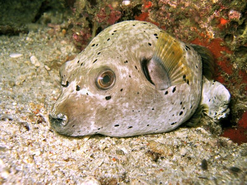 Dogface Pufferfish fotografia stock libera da diritti