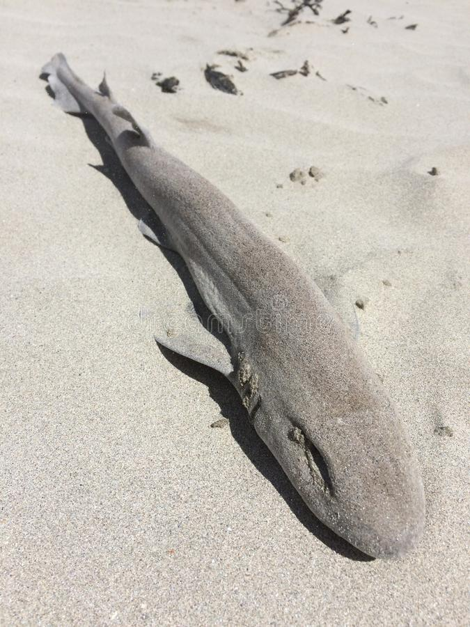Download Dogfish Washed Up On The Beach Stock Photo - Image: 94482646