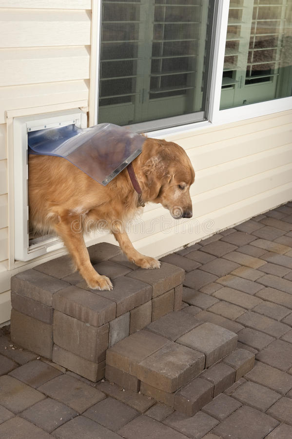 Doggie door and pet. A golden retriever pet walks through a home's doggie door stock image