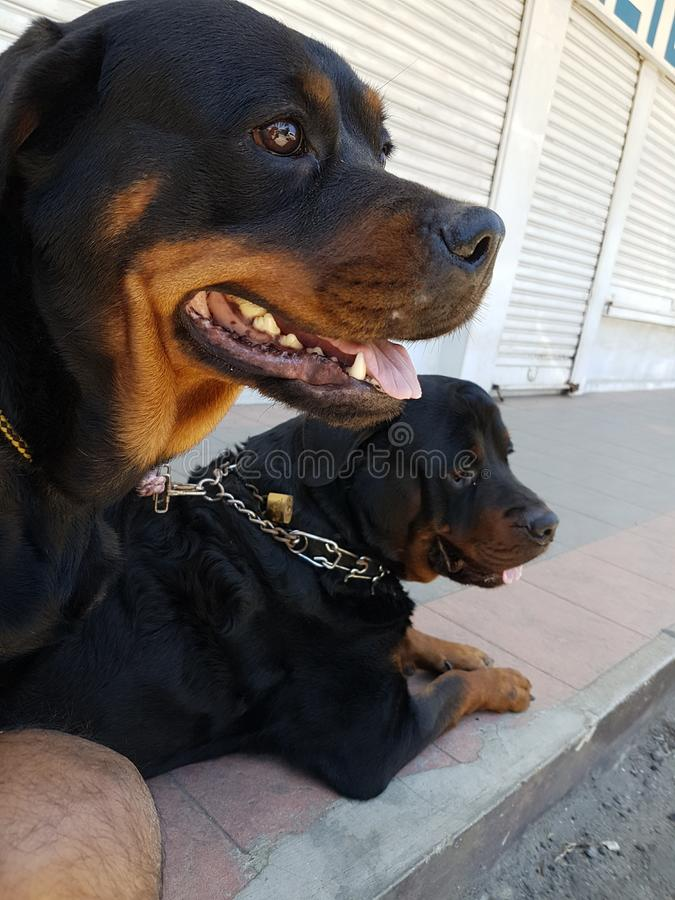 Doggies royalty free stock images