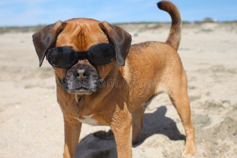 Download Doggles stock photo. Image of puggle, california, beagle - 30417558