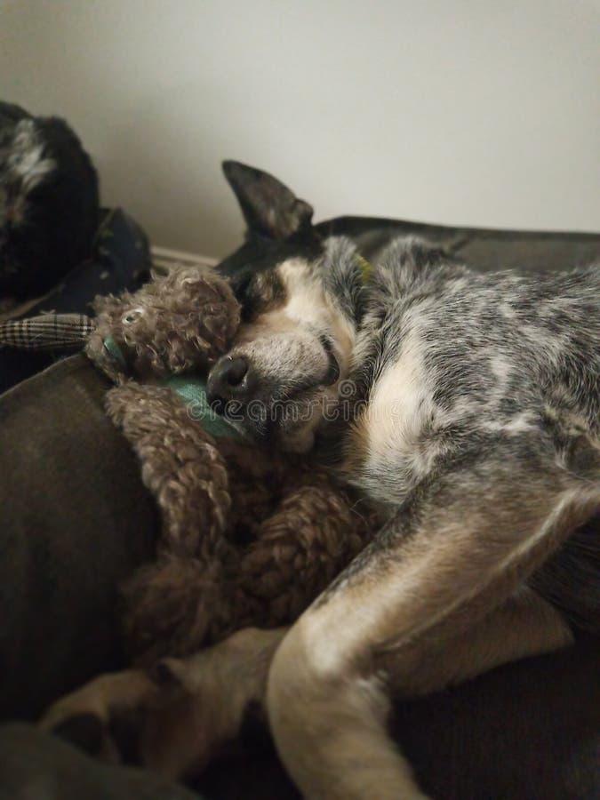 Doggo de los sueños dulces fotografía de archivo