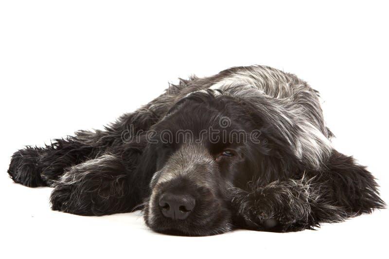 doggy сонный стоковое фото rf