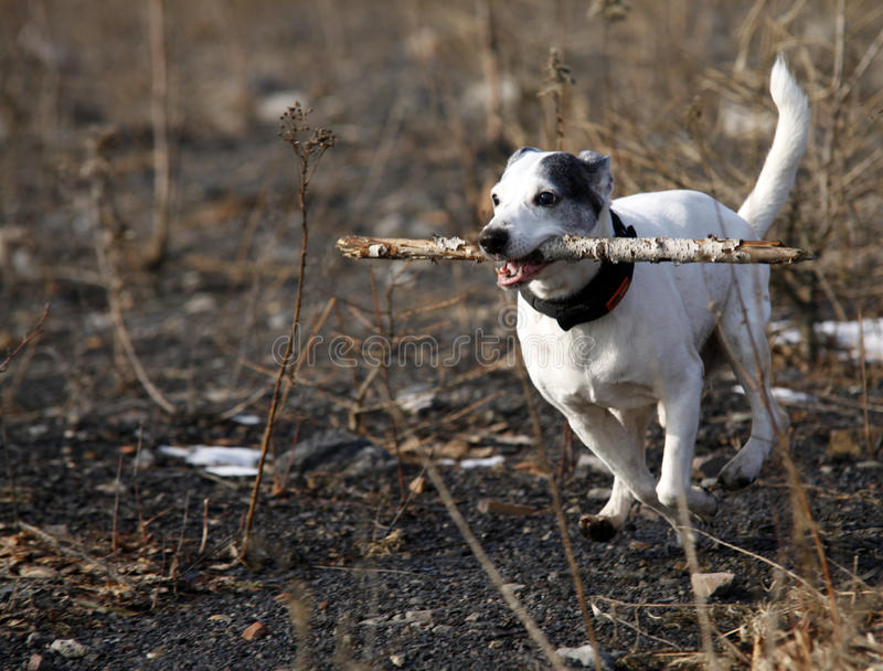 Download Doggy stock photo. Image of white, sport, play, outdoor - 18565772