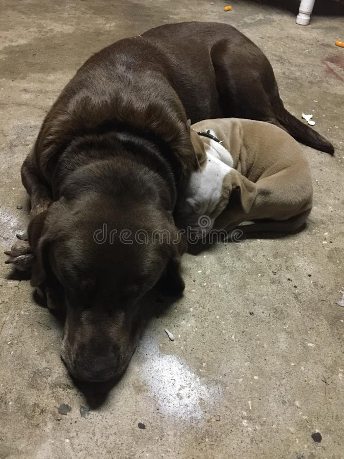 Doggy cuddles royalty free stock image