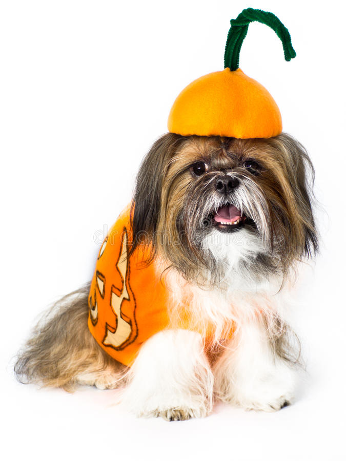 Doggy da abóbora imagens de stock