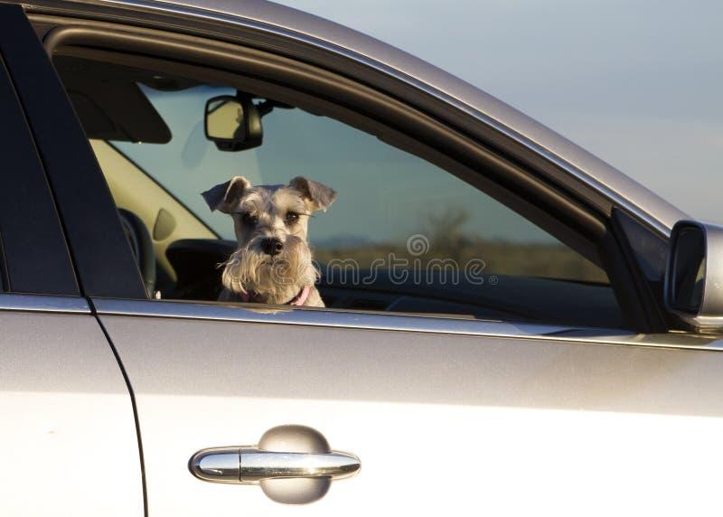 Doggy dell'animale domestico nella finestra di automobile fotografie stock