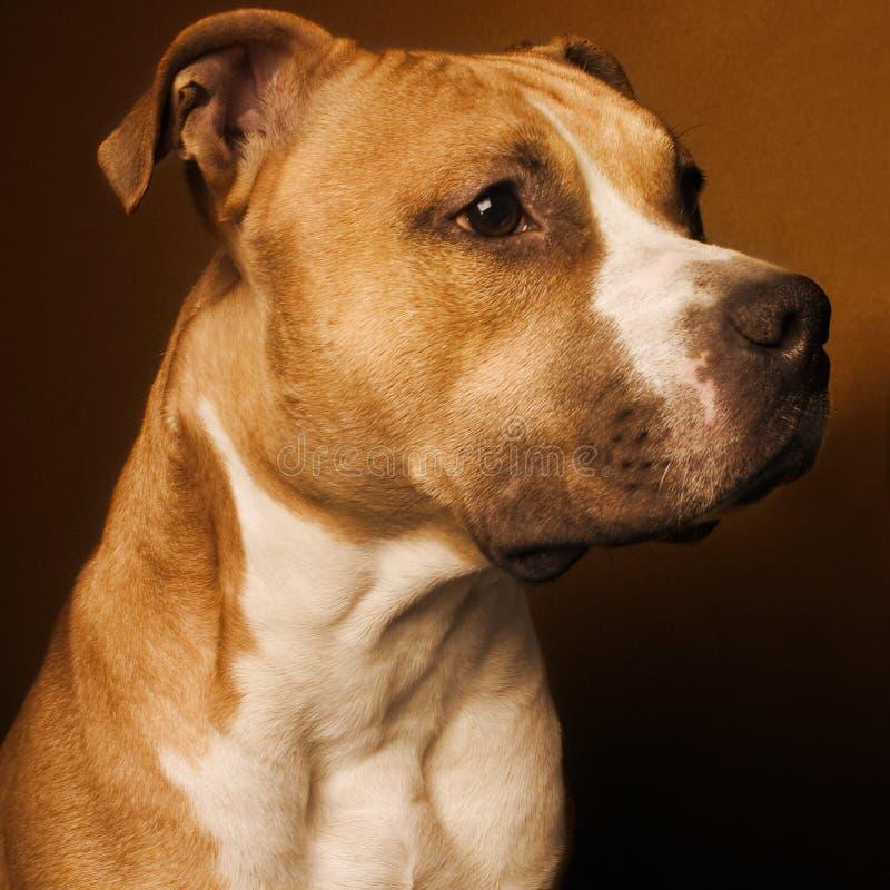 Doggy dello studio fotografie stock