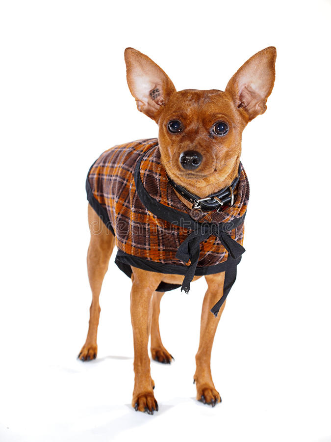 Doggy Fashion. Brown Minpin (Miniature Pinscher) dog dressed up in a Sherlock Holmes outfit stock photos