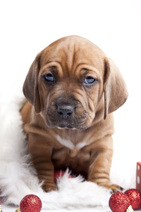 Doggy feliz novo dos christmass fotos de stock