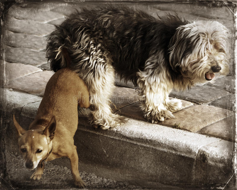 Doggy Love. Two mix breed dogs mating in the street