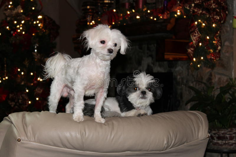 Doggy`s on a chair at Christmas royalty free stock images
