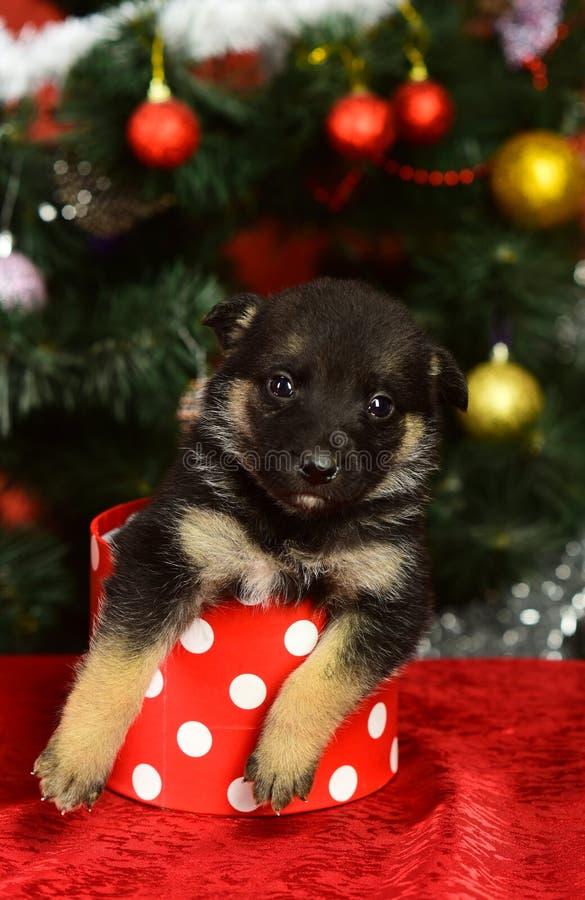 Doggy sieht aus aus einer winzigen, gefleckten Weihnachtskiste auf rot stockfoto