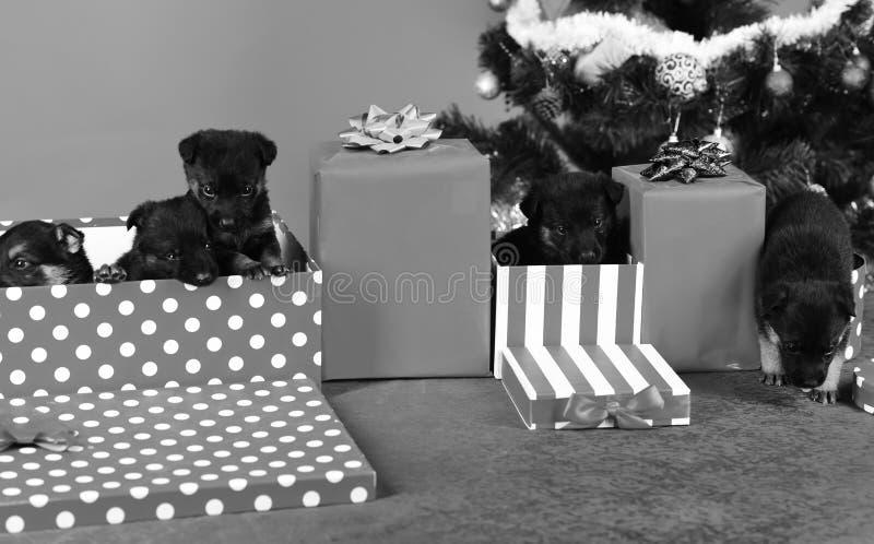 Doggy sieht aus gestreiften und gefleckten Weihnachtskisten stockbilder