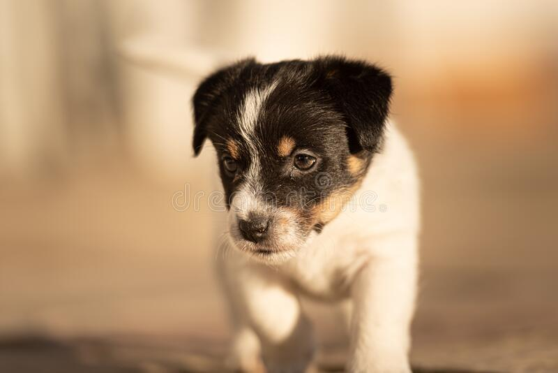 Doggy 6 weeks old. Young small Jack Russell Terrier puppy in the garden stock image