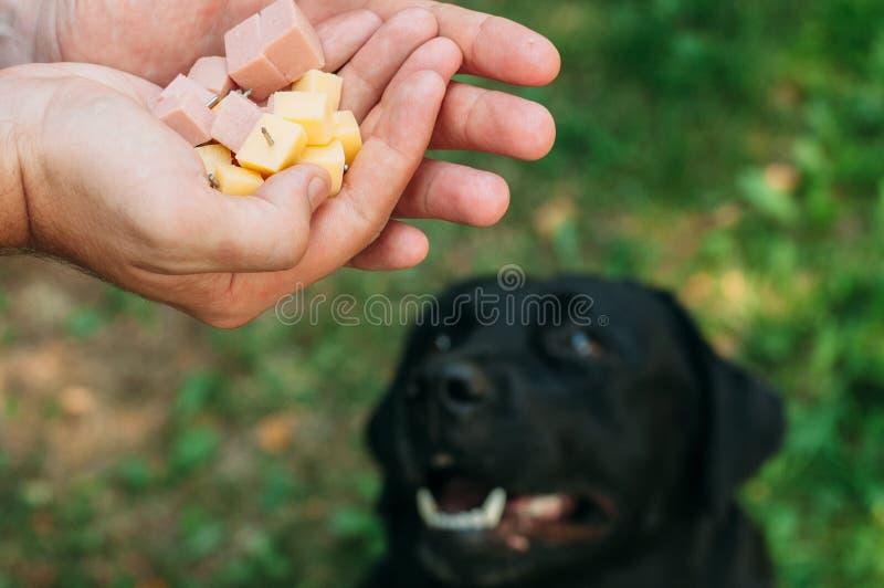 Doghunter: mężczyzna daje psiemu jedzeniu z gwoździami obraz stock