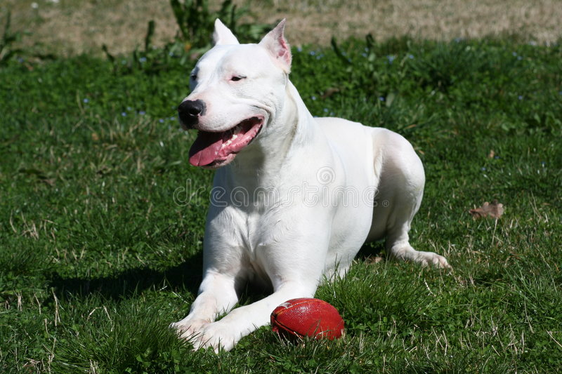 Dogo Argentine With Rugby Ball stock photos