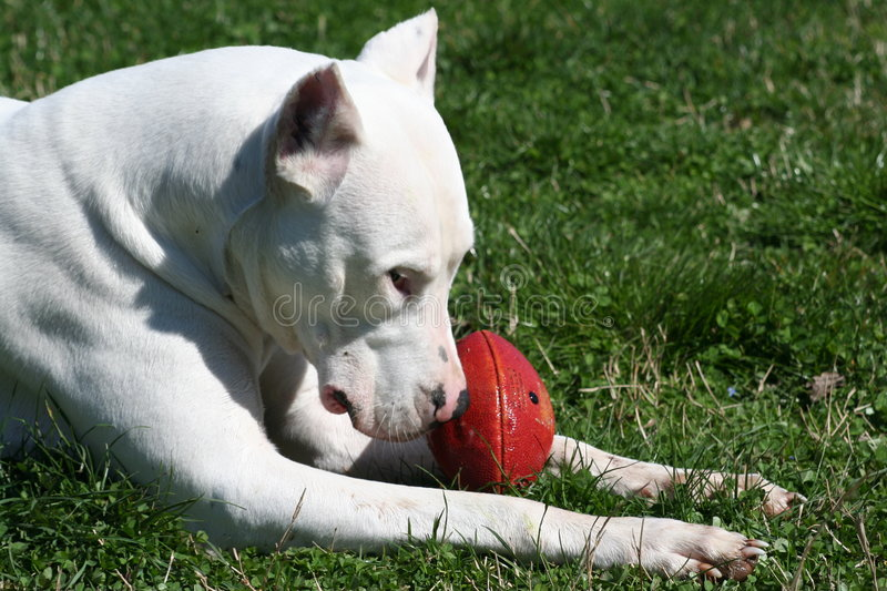 Dogo Argentine With Rugby Ball Royalty Free Stock Photos